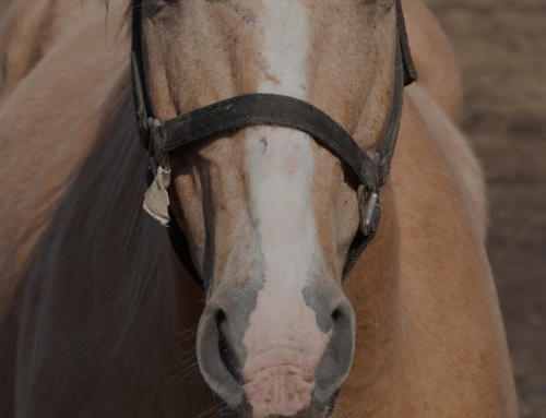 Equine Wellness: Laser Therapy
