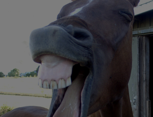 Equine Wellness: Dentistry